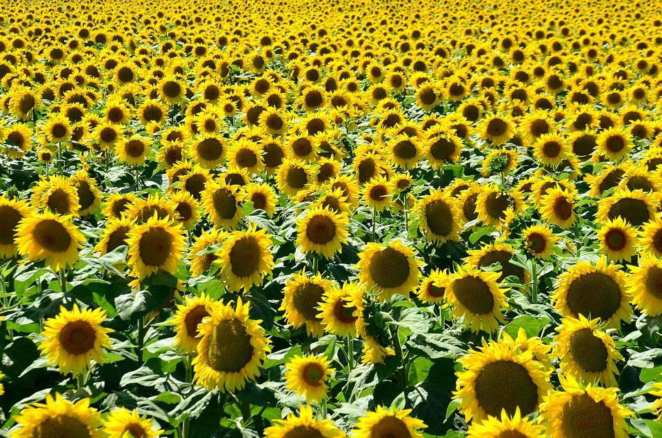 slunečnice v Maďarsku